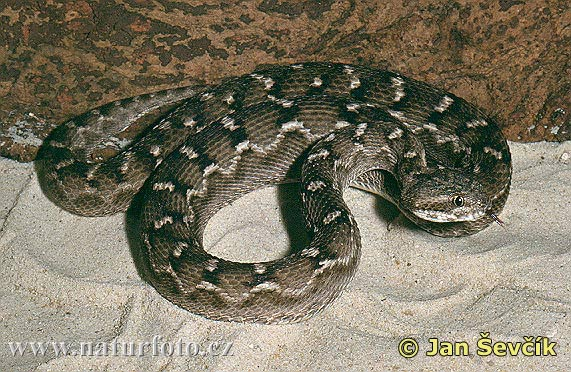 saw-scaled-viper-echis-carinatus